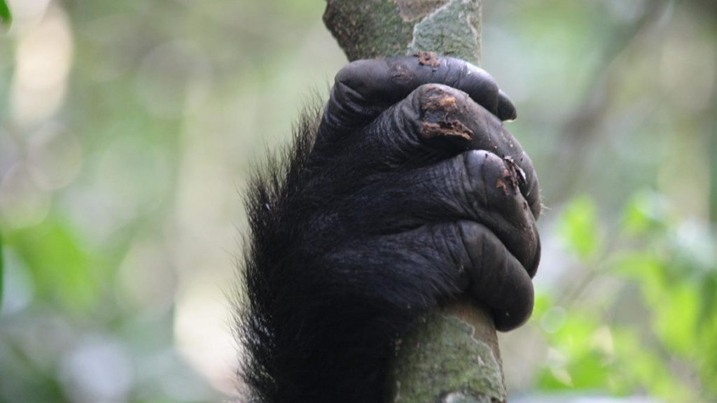 Mountain gorilla trekking in uganda - gorilla hand